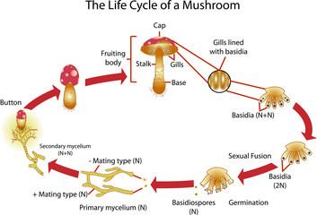 Vector of Mushroom Life cycle