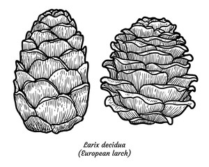 European larch illustration, drawing, engraving, ink, line art, vector
