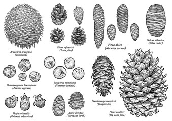 Pine and fir cone collection, drawing, engraving, ink, line art, vector