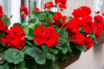 Red garden geranium flowers , close up shot / geranium flowers