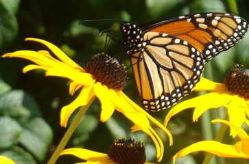 Monarch on wildflower