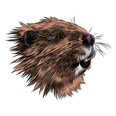 beaver sketch vector graphics color picture head