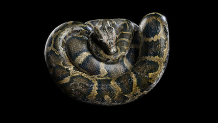 3d Boa Constrictor The World's Biggest Venomous Snake Isolated on Black Background, 3d Illustration, 3d Rendering