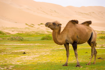 Khongor Els Sand Dune Sagging Bactrian Camel Hump