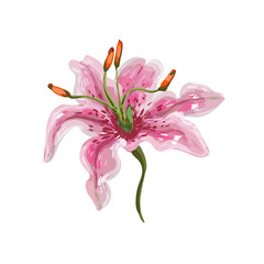 Vector realistic tender watercolor like vivid pink lily on white