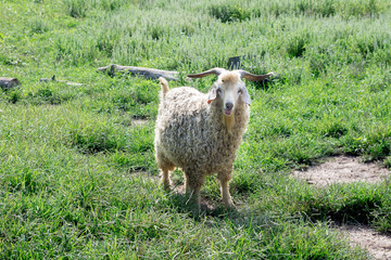 Angora goat in grassy field with its tongue out