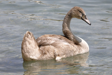 A young swan  swims in the lake