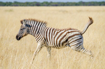 Young Zebra jumping happily through dry yellow grass at Etosha National Park, Namibia, Africa