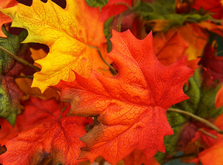 Vibrant, colorful autumn fall Maple leaves background, texture