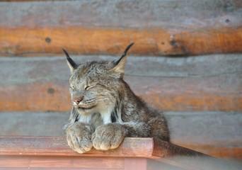 Aluminium Prints Lynx Canada lynx in a wildlife refuge in Alaska, lying at ease