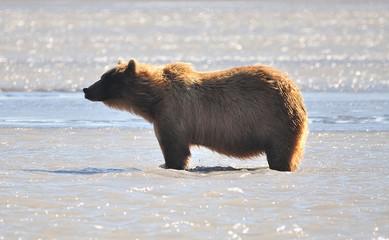 Big grizzly bear on Kodiak island
