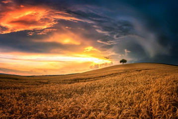 Lonely tree in sea of wheat / Magnificent sunset view with a summer field in South Moravia, Czech Republic