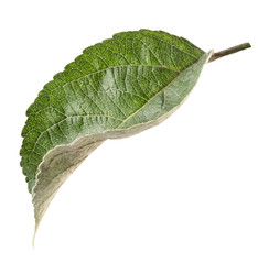 apple leaf isolated on a white background