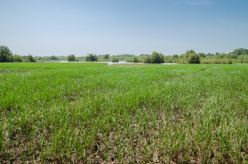 Field of rice in the West African country The Gambia, Africa
