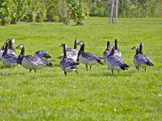 Flock of barnacle geese having a rest on green grass on their migration to south in fall.
