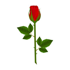 Fresh red rose with water drops isolated on white background. A ready postcard. Vector illustration.