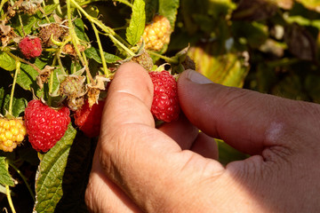 close up of hand picking ripe raspberries on a bush.