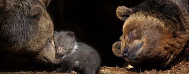Fototapete - bears family - brown bear - Ursus arctos