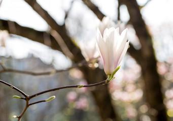 Poster Magnolia fleur blanche