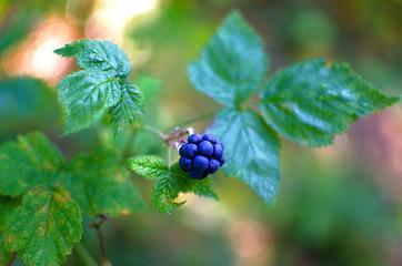 Macro shot of ripe blackberry
