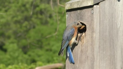 Fotoväggar - Female Eastern Bluebird (Sialia sialis) flying to a nest box in slow motion