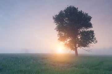 tree in the fog at sunrise
