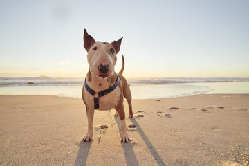 Portrait of a Pit Bull