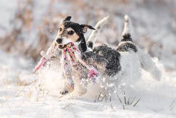 Zwei Hunde spielen im Schnee - Jack Russell Terrier