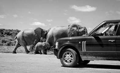 Elephants with a baby elephant share a road with a car in Africa. Old retro photo. Wildlife. Elephant family. Amazing image. Wild animals in National Parks. African safari. Black White photography