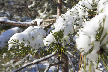 Pine forest under the snow