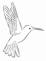 hummingbird illustration, vector draw