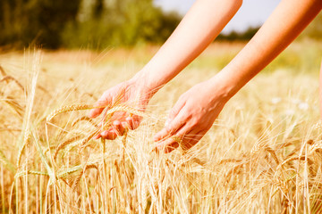 Photo of hands of man with rye spikelets