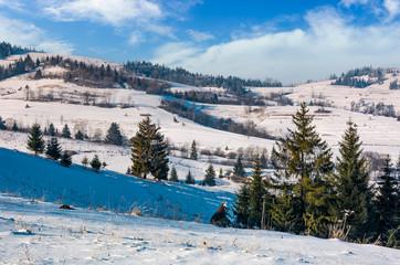 spruce trees on rural hillside in winter. beautiful scenery in mountainous countryside