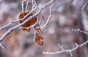 weathered brown foliage on a frozen branch. beautiful nature background in winter