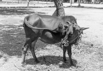 hot day cow black and white