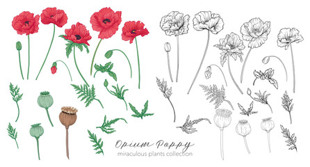 Opium poppy plant set. Colored and outline set stock vector illu