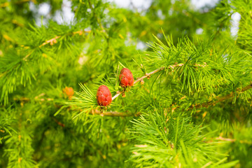 Two young cones on a larch branch on a blurred background