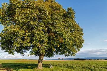 Landschaft mit Wallnussbaum (Juglans regia) auf der grünen Wiese