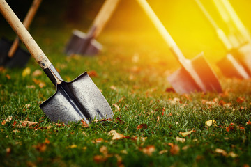 close-up shovel is stuck in a green lawn with yellow leaves. The concept of laying a lawn, harvesting.