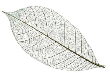 Skeleton of leaf on a white background.