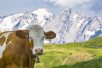 A cow on an alpine pasture. Dolomites. Italy.