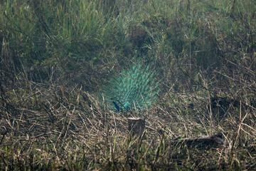 peacock plumage in Chitwan national park