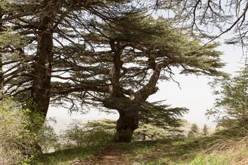 Cèdres dans les montagnes du Liban