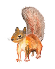 Watercolor red squirel