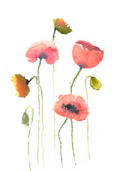 Red poppy flowers on white, watercolor painting, floral art