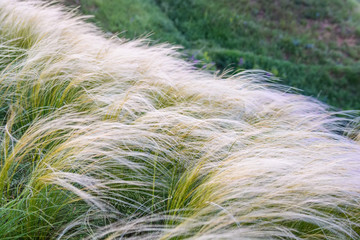Field with feather grass Stipa beautiful landscape