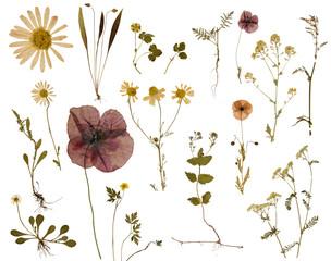 In de dag Madeliefjes Pflanzen wie Mohn, Spitzwegerich, Gänseblümchen und andere