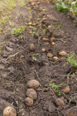 Agricultural field on which potatoes are harvesting. Autumn farm works