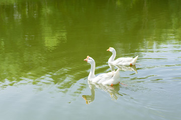 Two white goose swimming together in the river