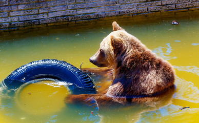 bear playing with tires. Brown european bear.